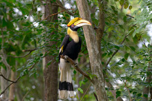 Great Hornbill On Tree Branch In The Forest
