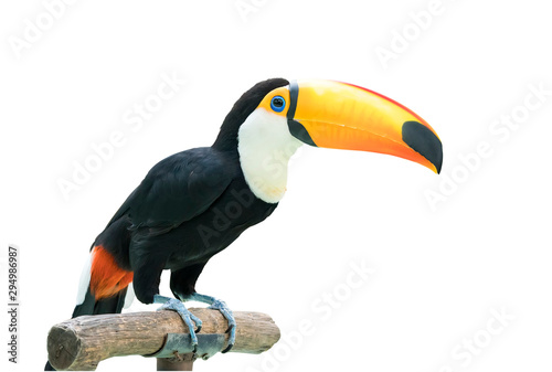 obraz PCV Colorful Toucan Bird Profile photo