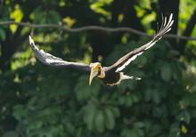 Great Hornbill Flying In Rainforest