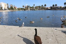 Lonely Goose Watches Other Birds