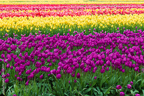 purple, yellow, and red, tulips planted in rows on propagation farm