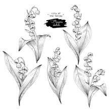 Sketch Floral Botany Collection. Lily Of The Valley Flower Drawings. Black And White With Line Art On White Backgrounds. Hand Drawn Botanical Illustrations. Nature Vector.