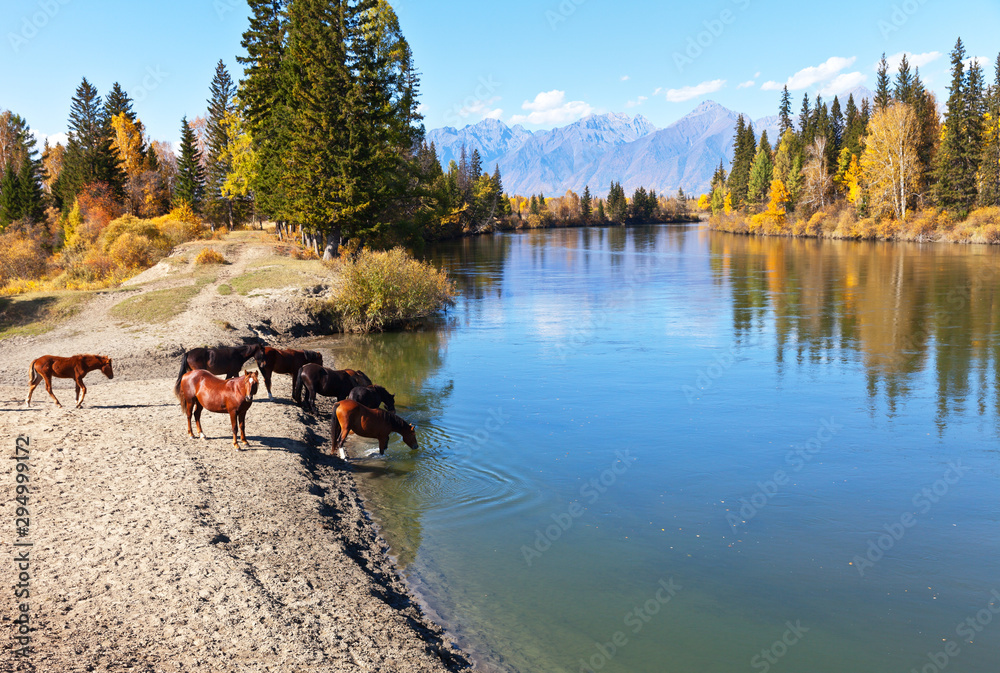 Fototapety, obrazy: Rural landscape with horses at a watering hole at the Irkut River at an autumn day. Eastern Sayan Mountains in the distance. Siberia, Buryatia, Tunka valley, Kyren, Arshan, Nugan village