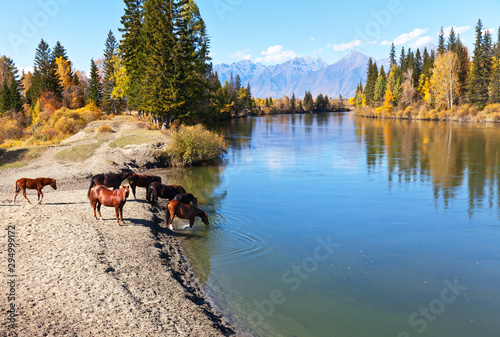 Foto auf Gartenposter Wasserfalle Rural landscape with horses at a watering hole at the Irkut River at an autumn day. Eastern Sayan Mountains in the distance. Siberia, Buryatia, Tunka valley, Kyren, Arshan, Nugan village