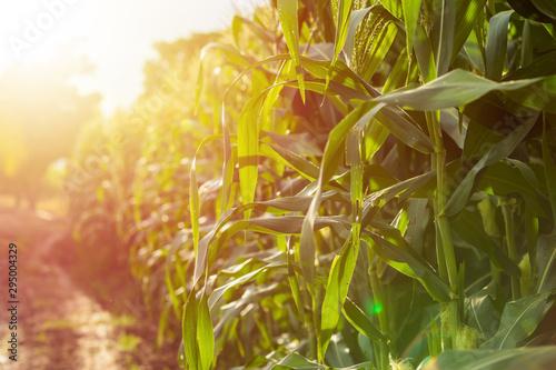 Foto auf Leinwand Melone Green corn field, Row of corn plantation in Thailand