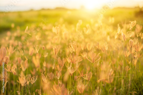 Montage in der Fensternische Orange Beautiful white grass flowers in sunrise time on blur and nature bokeh background