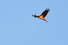 European Black Stork Flying In Front Of A Blue Sky