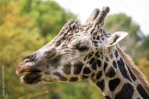 Closeup portrait of a giraffe Canvas Print