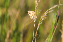 Closeup Of A Western Marbled White Butterfly Sitting On Grass
