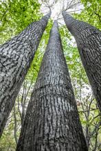 Tall Trees Against The Sky