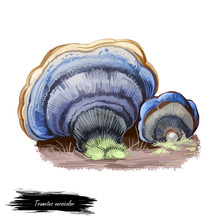 Trametes Versicolor Or Turkey Tail Mushroom Closeup Digital Art Illustration. Cap Shows Concentric Zones Of Different Colours Like Blue And Grey. Mushrooming Season, Plants Growing In Wood And Forest