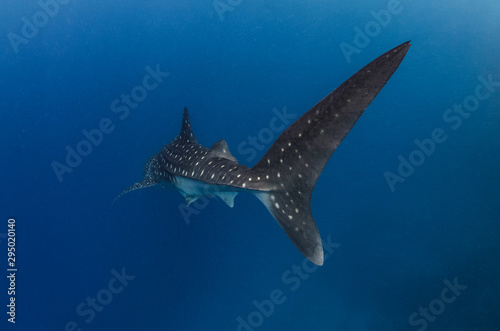 Poster Aigle Whale shark