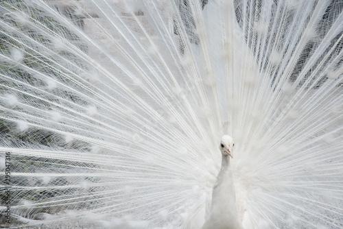 Fényképezés un paon blanc fait la roue