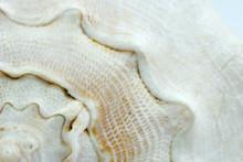 Texture Of A White Seashell Close-up, Sea Shell Macro