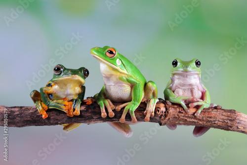 Obraz na plátně Australian white tree frog on leaves, dumpy frog on branch,  Australian white tr