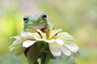 Australian white tree frog on leaves, dumpy frog on branch,  Australian white tree frog sitting on flowes