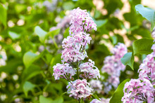 Blossoming Branch Of Light Purple Lilac Syringa Vulgaris Flowers On Green Leaves Background In The Spring Park.