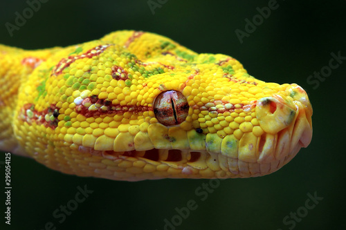 Stampa su Tela Yellow tree python snake on branch, snake, reptile, reptiles closeup