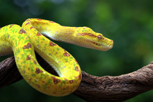 Yellow Tree Python Snake On Br...
