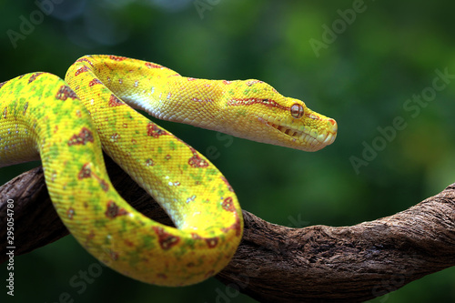 Fotografie, Obraz Yellow tree python snake on branch, snake, reptile, reptiles closeup