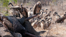 Cape Vulture, South Africa, Eating Elephant Carcass, Death, Decay, Feeding