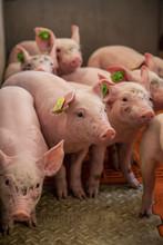 Piglet Breeding  In The Barn I...