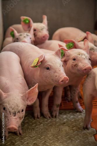 piglet breeding  in the barn in austria Fotobehang
