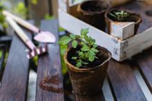 Young Plant, Tomato Seedling I...