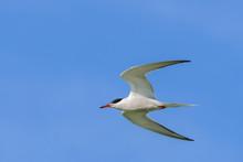 Common Tern Sterna Hirundo Fly...