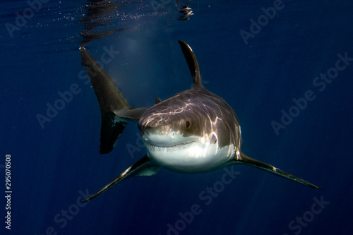 Great White shark ready to attack from deep blue Tablou Canvas