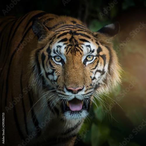 Foto auf AluDibond Tiger Photos of tiger naturally.