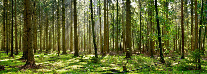 Beautiful forest with moss-covered soil and sunbeams through the trees
