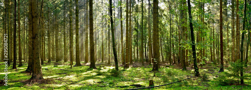 Fototapeta Beautiful forest with moss-covered soil and sunbeams through the trees obraz