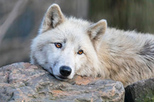 White Hudson Bay Wolf Beautifu...
