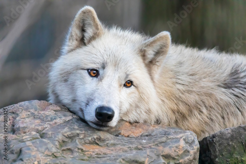 White Hudson Bay wolf beautiful view Canvas Print
