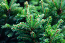 Xmas Spruce Tree Branches Forest Nature Landscape. Christmas Background Holiday Symbol Evergreen Tree With Needles. Shallow Depth Of Field