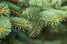 Fairytale Spruce Tree Branches Forest Nature Landscape. Christmas Background Holiday Symbol Evergreen Tree With Needles. Shallow Depth Of Field