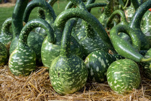 Calabash Or Bottle Gourds  Of The Variety Cobra (cucurbita Lagenaria) With A Long Curved Neck, Decorative Ornamental Fruits For Sale On A Farmers Market, Selected Focus