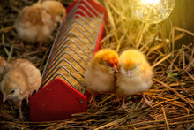 Animal Husbandry Or Livestock For Agriculture. Chick Eating Food In The Tray And Two Chicks That Are Sleeping Under The Light Bulb Warmth On Straw In The Night.