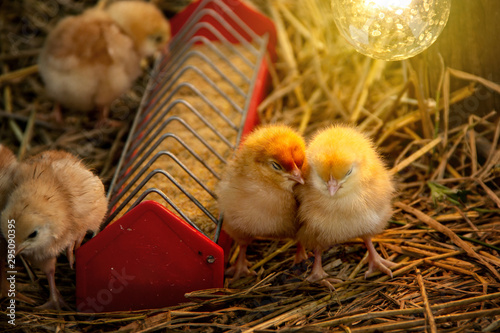 Canvas Print Animal husbandry or livestock for agriculture