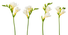 Freesia Flower Set Twigs In Bloom Isolated On White Background