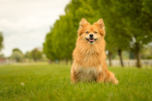 Cute Ginger German Spitz Klein Dog In Grass Park