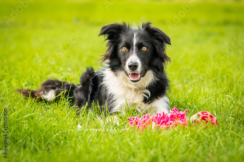 Stampa su Tela Happy Black And White Border Collie With Toy