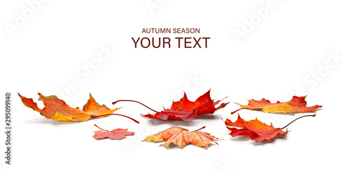 Fototapeta autumn season concept, maple leaf isolated on white background obraz