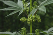 canvas print picture - Detail of male cannabis plant flowering