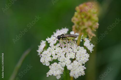 Insecte nommé allante de la scrophulaire Canvas Print