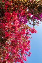 Blooming Bougainvilleas Flowers