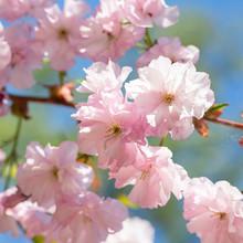 Close Up Of Beautiful Pink Sakura Flowers. Soft Focus Cherry Blossom Or Sakura Flower On Blue Sky Background. Selective Focus