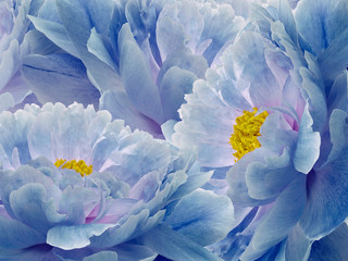 Panel Szklany Peonie Floral blue background. Flowers and petals of a blue peonies close up. Nature.