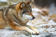 Beautiful Wolf Rests In The Fo...